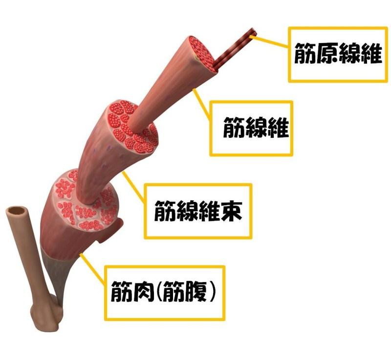 骨格筋解剖
