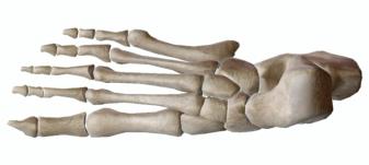 【簡単】足関節の解剖学とアーチの役割について【筋トレマニア】